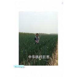 供应大葱种子--中华铁杆巨葱