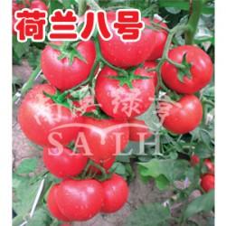 供应荷兰八号(高抗TY病毒)—番茄种子
