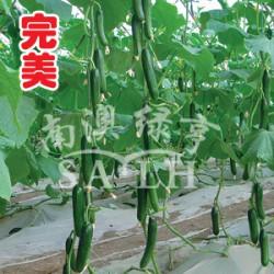 供应完美—黄瓜种子