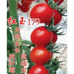 供应红玉179——番茄种子