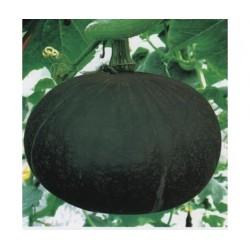 供应吉田蜜冠—南瓜种子