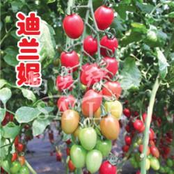 供应迪兰妮(高抗TY病毒)—番茄种子