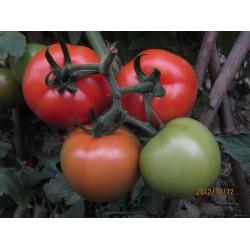 供应荷兰1618F1—番茄种子