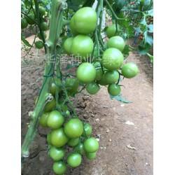 供应荷兰进口绿色小西红柿种子