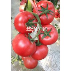 供应越冬一大茬番茄种子