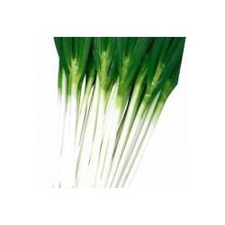 供应大葱种子-日本田宝