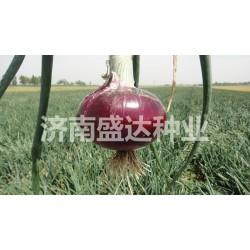 供应高扁中生909紫玉葱种子