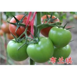 """供应""""布兰琪""""--番茄种子"""