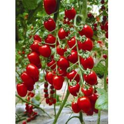 供应靓红218小番茄种子