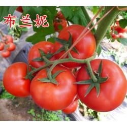 供应布兰妮--西红柿种子