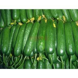 供应荷兰越吉F1(水果黄瓜)—黄瓜种子