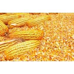 求购玉米—菜用玉米种子