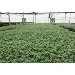 供应西红柿种苗