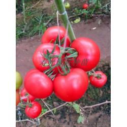 供应妞盾—抗Ty粉番茄种子