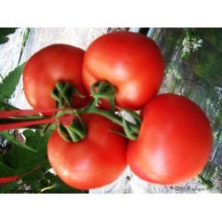 供应欧特娇高抗TY病毒粉果—番茄种子