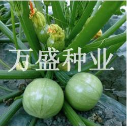 供应绿珍珠圆西葫芦—西葫芦种子