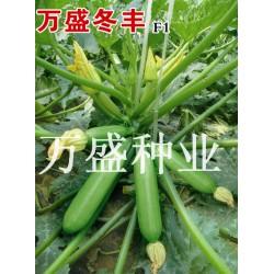 供应万盛冬丰—西葫芦种子