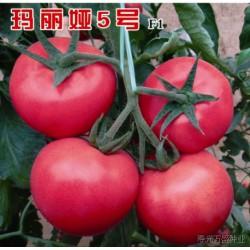 供应玛丽娅5号—番茄种子