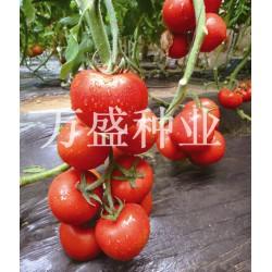 供应娜塔莉—番茄种子
