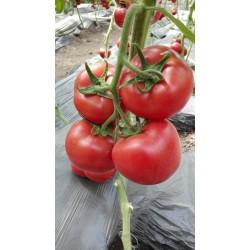供应妞盾—番茄种苗