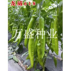 供应龙威618-辣椒种子