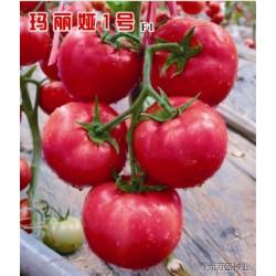 供应玛丽娅1号番茄种子