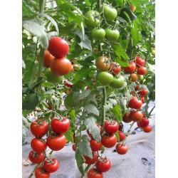 供应以色列耐克009(高抗TY病毒大红)—番茄种子