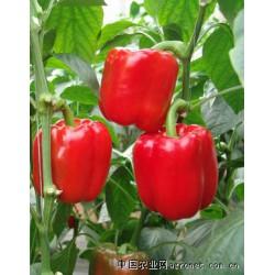 供应红泰—甜椒种子