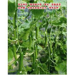 供应奥尼—水果黄瓜种子