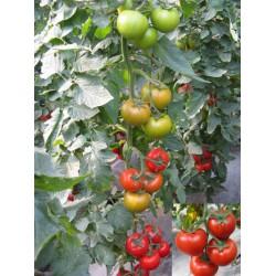 供应双赢-红果番茄种子