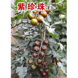 供应紫珍珠—番茄种子