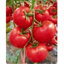 供应玛丽娜3号—番茄种子