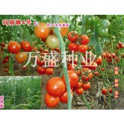 供应玛丽娜-番茄种子(高抗TY病毒)