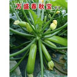 供应万盛春秋宝—西葫芦种子