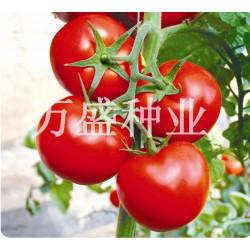 供应大红果番茄—玛丽娜1号