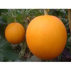供应五月红冠王——甜瓜种子