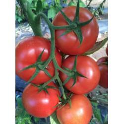 供应哈菲特耐热大红番茄种子