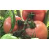 山西壶关旱地西红柿